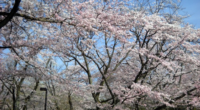 [広見公園の桜もあと数日か] 富士市伝法